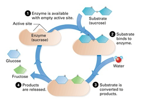 enzymes & active site